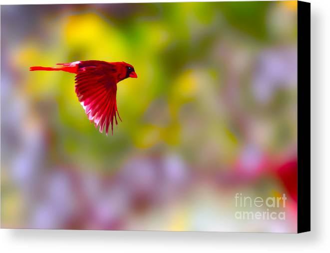 Bird Canvas Print featuring the photograph Cardinal In Flight by Dan Friend