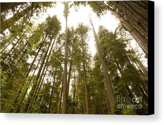Provincial Park Bc Canvas Print featuring the photograph Cathedral Forest by Artist and Photographer Laura Wrede