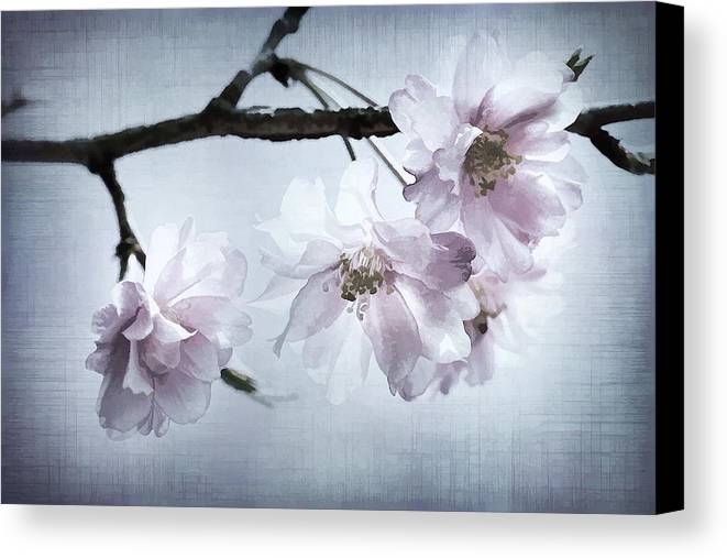Cherry Canvas Print featuring the photograph Cherry Blossom Sweetness by Kathy Clark