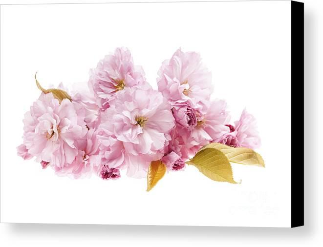 Cherry Canvas Print featuring the photograph Cherry Blossoms Arrangement by Elena Elisseeva