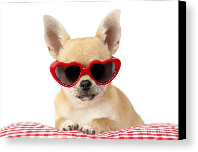 Chihuahua Canvas Print featuring the digital art Chihuahua In Heart Sunglasses Dp813 by Greg Cuddiford