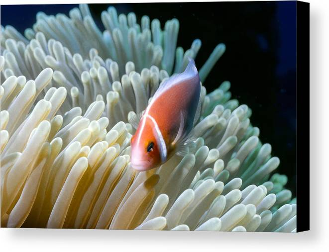 Micronesia Canvas Print featuring the photograph Clownfish 9 by Dawn Eshelman