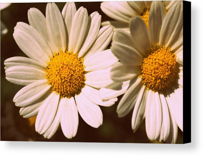 Flower Canvas Print featuring the photograph Daisies by Chevy Fleet