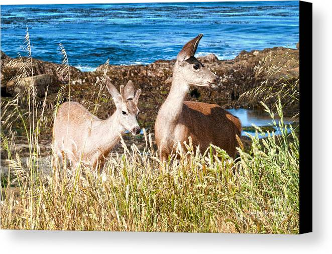 State Beach Near Big Sur Canvas Print featuring the photograph Deer On The Beach At Point Lobos Ca by Artist and Photographer Laura Wrede