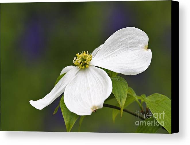 Eastern Canvas Print featuring the photograph Dogwood Blossom - D001797 by Daniel Dempster