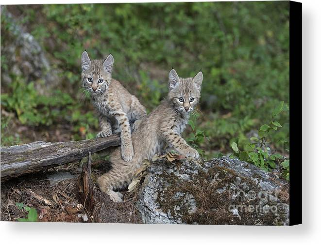 Animals Canvas Print featuring the photograph Double Trouble by Sandra Bronstein