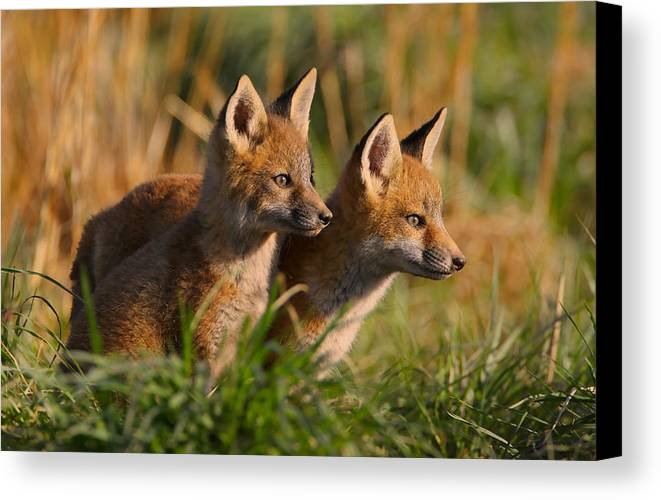 Fox Canvas Print featuring the photograph Fox Cubs At Sunrise by William Jobes