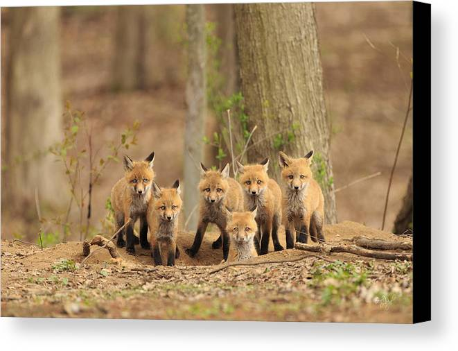Fox Canvas Print featuring the photograph Fox Family Portrait by Everet Regal