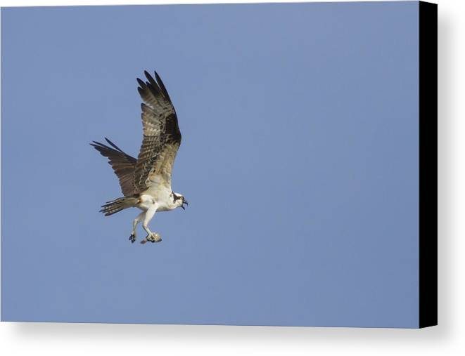 Bird Of Prey Canvas Print featuring the photograph Fresh Catch by Charles Warren