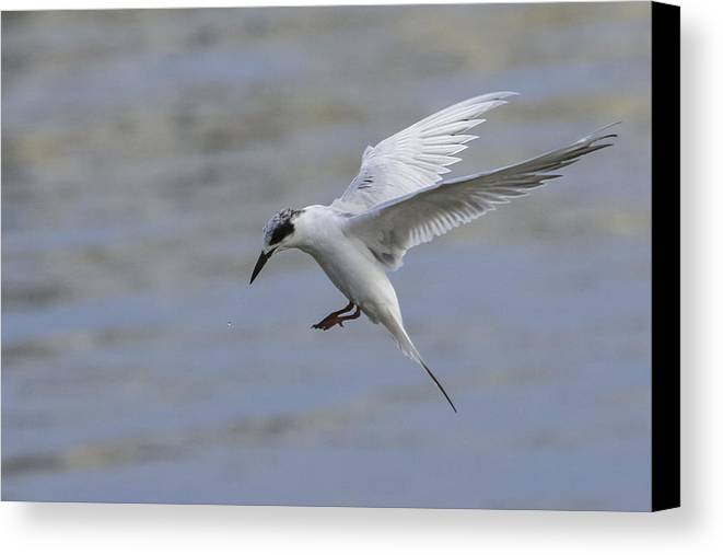 Tern Canvas Print featuring the photograph Full Stall by Charles Warren