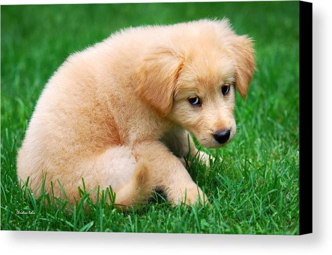 Puppy Canvas Print featuring the photograph Fuzzy Golden Puppy by Christina Rollo