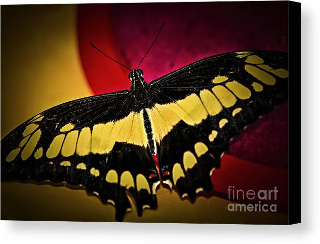 Giant Canvas Print featuring the photograph Giant Swallowtail Butterfly by Elena Elisseeva
