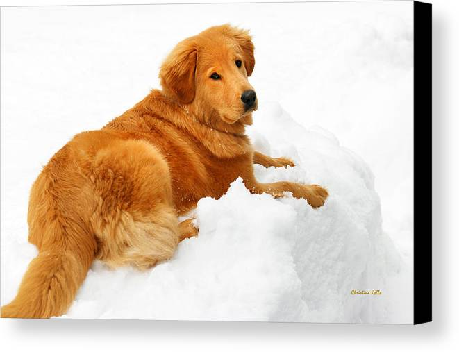 Golden Retriever Canvas Print featuring the photograph Golden Retriever Snowball by Christina Rollo