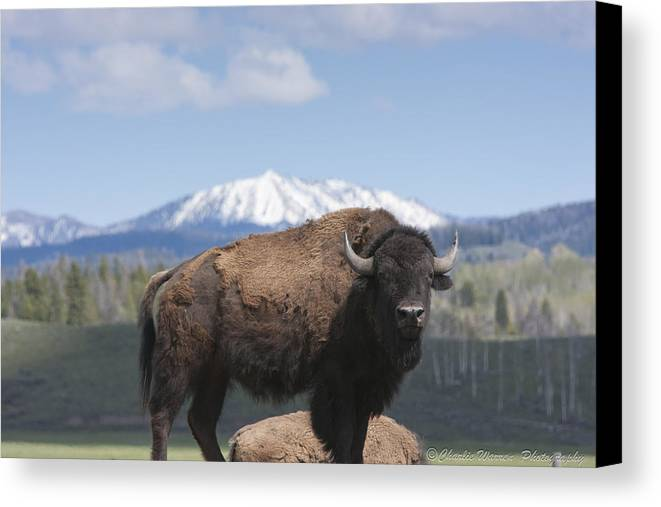 Bison Canvas Print featuring the photograph Grand Tetons Bison by Charles Warren