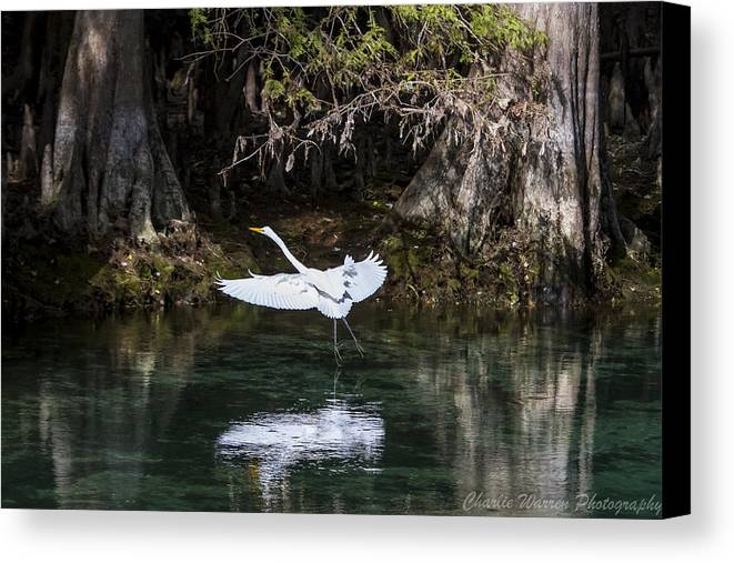 Heron Canvas Print featuring the photograph Great White Heron In Flight by Charles Warren