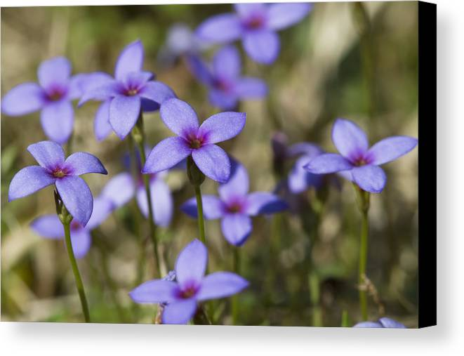 Tiny Bluet Canvas Print featuring the photograph Happy Tiny Bluet Wildflowers by Kathy Clark