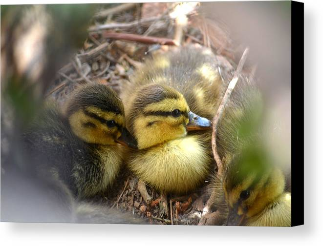 Mallard Ducklings Canvas Print featuring the photograph Hidden by Deb Halloran