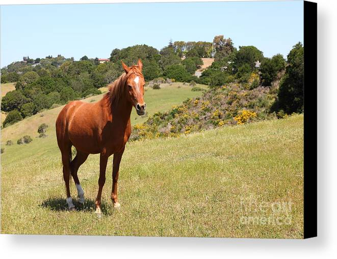Marin Canvas Print featuring the photograph Horse Hill Mill Valley California 5d22679 by Wingsdomain Art and Photography