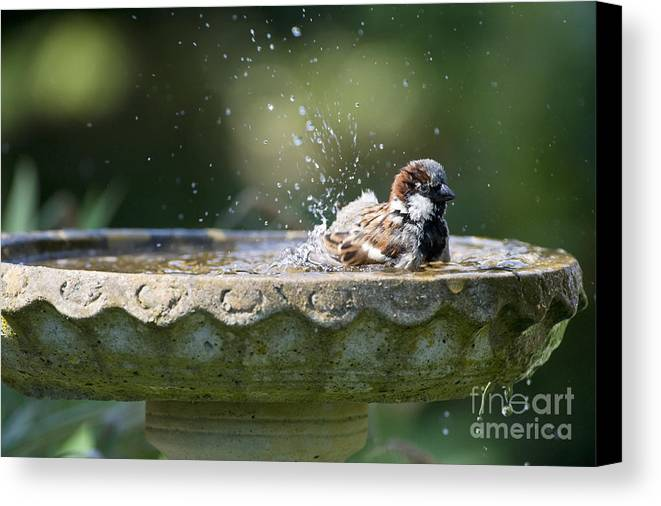 House Sparrows Sparrows Canvas Print featuring the photograph House Sparrow Washing by Tim Gainey