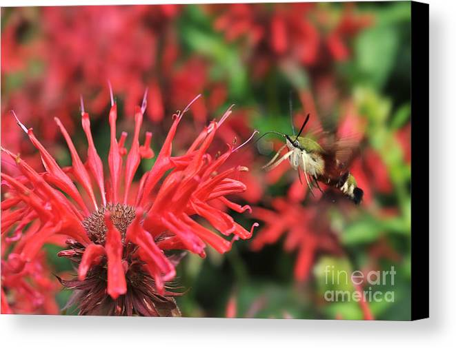Hummingbird Moth Canvas Print featuring the photograph Hummingbird Moth Feeding On Red Flower by Dan Friend