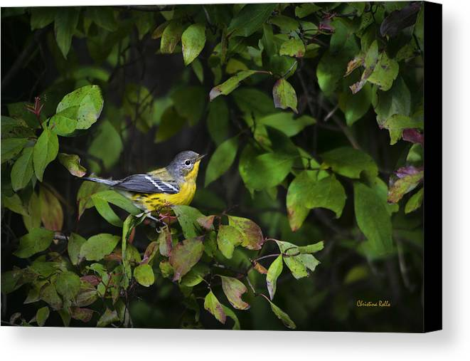 Bird Canvas Print featuring the photograph Magnolia Warbler by Christina Rollo