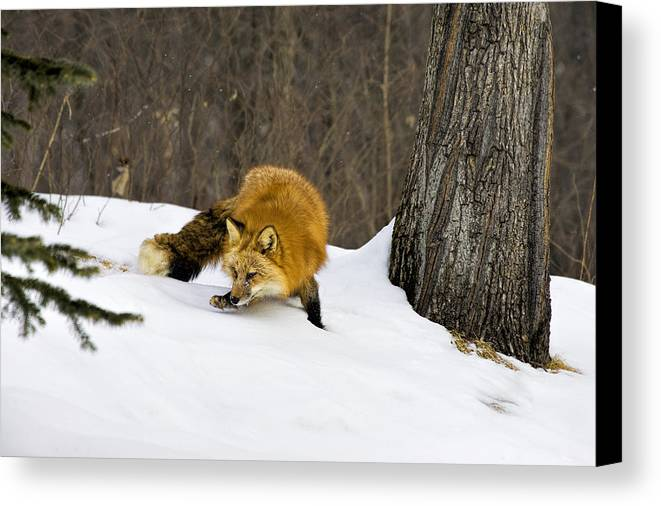 Fox Canvas Print featuring the photograph Mousing by Jack Milchanowski