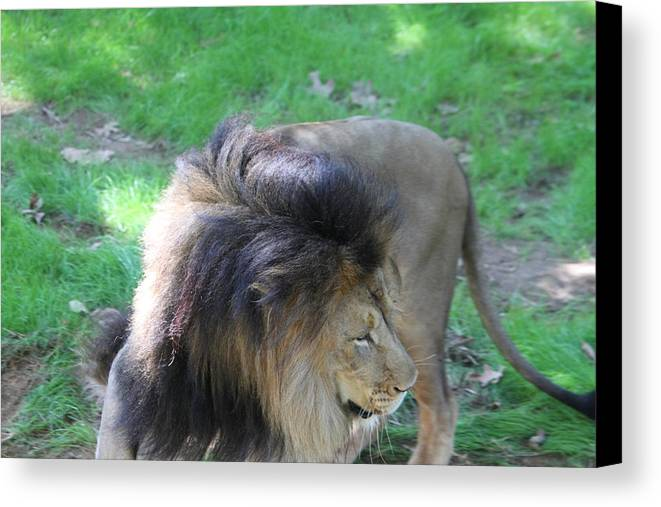 National Canvas Print featuring the photograph National Zoo - Lion - 01132 by DC Photographer