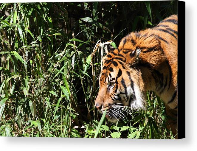 National Canvas Print featuring the photograph National Zoo - Tiger - 011311 by DC Photographer