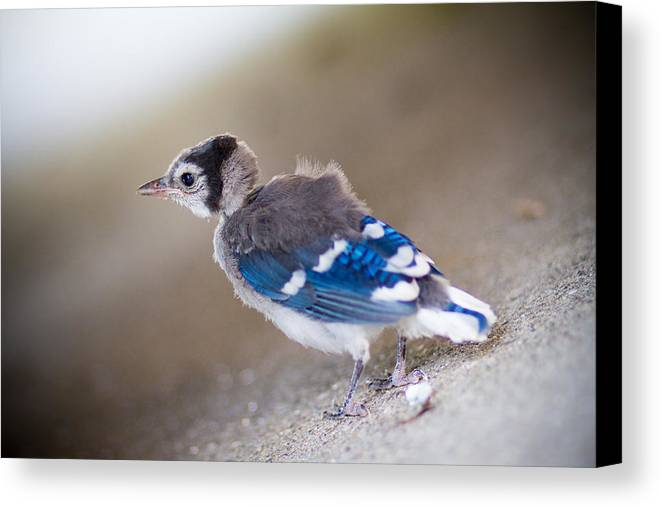 Bluejay Canvas Print featuring the photograph one day...I will fly by Shane Holsclaw