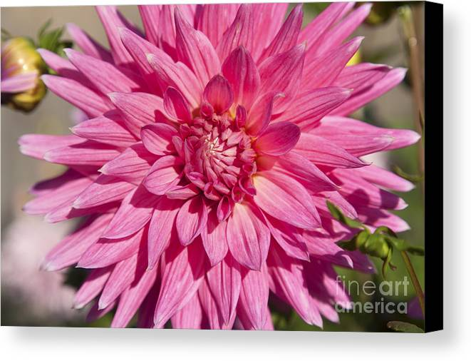 Bloom Canvas Print featuring the photograph Pink Dahlia II by Peter French