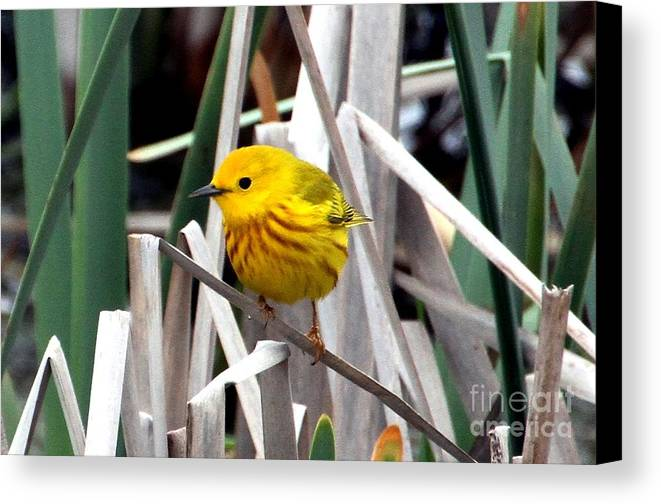 Yellow Warbler Canvas Print featuring the photograph Pretty Little Yellow Warbler by Elizabeth Winter