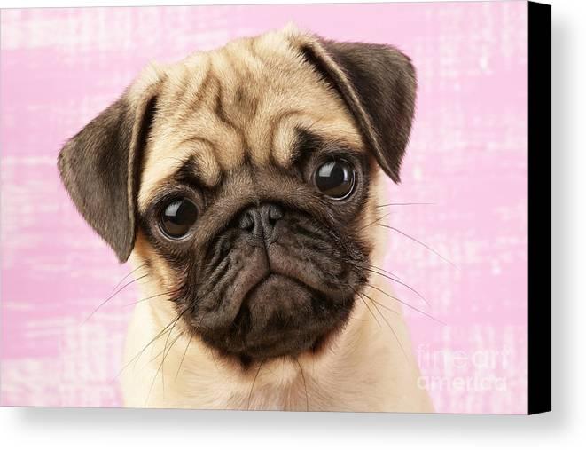 Puppy Canvas Print featuring the digital art Pug Portrait by Greg Cuddiford