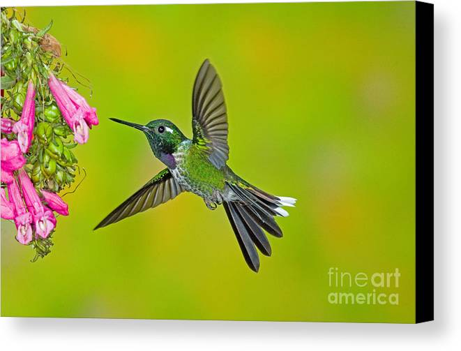 Fauna Canvas Print featuring the photograph Purple-bibbed Whitetip Hummingbird by Anthony Mercieca