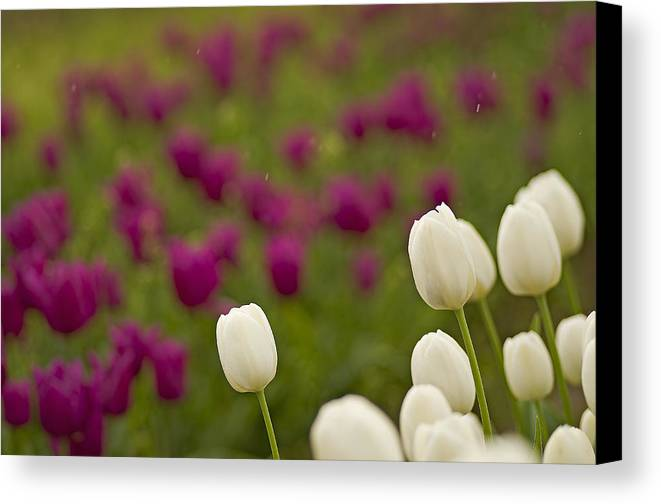 Pacific Canvas Print featuring the photograph Rain Drops Keep Falling On My Tulips by Nick Boren