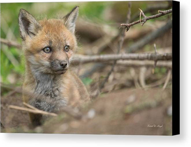 Red Canvas Print featuring the photograph Red Fox Kit by Everet Regal