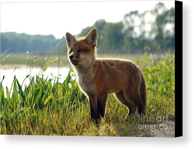 Fox Canvas Print featuring the photograph Red Fox Kit by Olivier Le Queinec