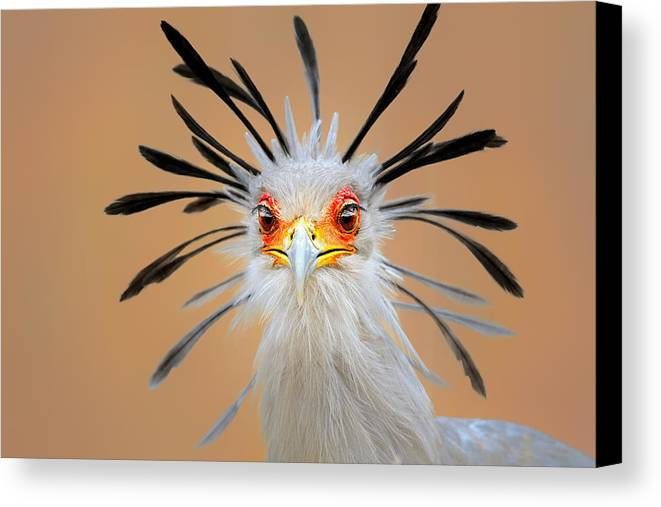 Bird Canvas Print featuring the photograph Secretary Bird Portrait Close-up Head Shot by Johan Swanepoel
