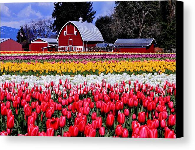 Tulips Canvas Print featuring the photograph Skagit Valley by Benjamin Yeager