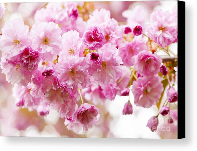 Cherry Canvas Print featuring the photograph Spring Cherry Blossoms by Elena Elisseeva