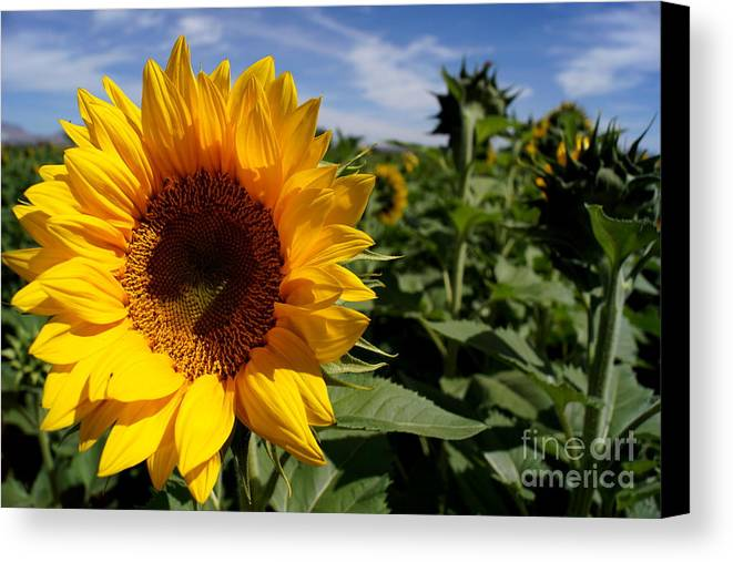 Agriculture Canvas Print featuring the photograph Sunflower Glow by Kerri Mortenson