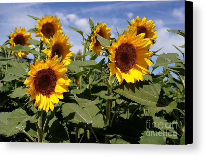 Agriculture Canvas Print featuring the photograph Sunflowers by Kerri Mortenson