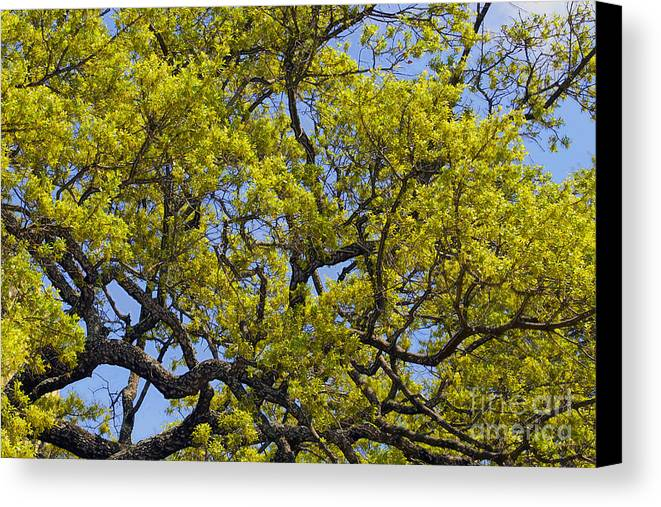 Leaves Canvas Print featuring the photograph Tangled In Time by Pamela Gail Torres