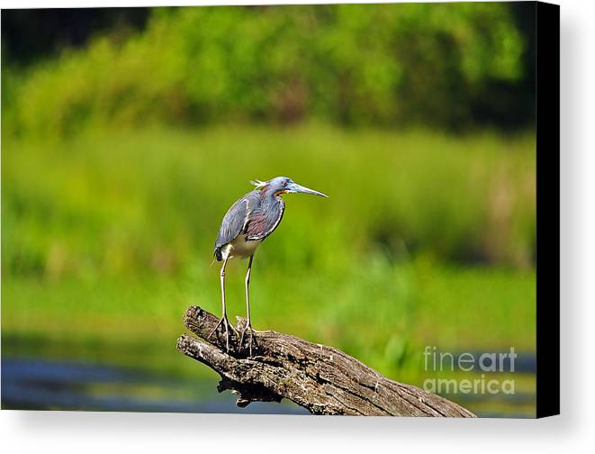 Heron Canvas Print featuring the photograph Tantalizing Tricolored by Al Powell Photography USA