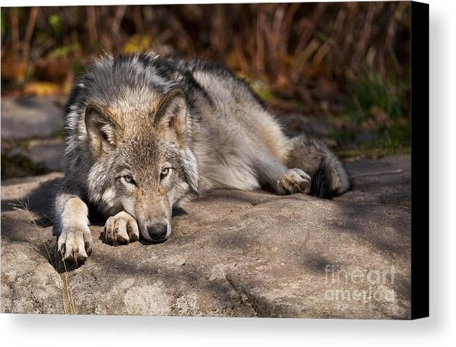 Timber Wolf Canvas Print featuring the photograph Timber Wolf Pictures 945 by World Wildlife Photography