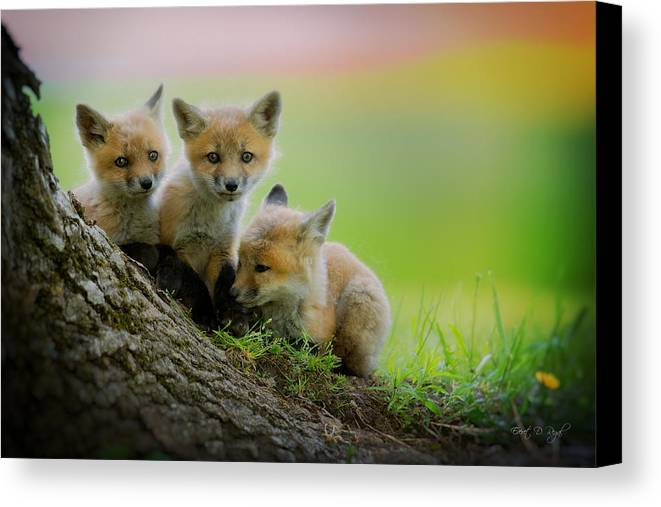 Fox Canvas Print featuring the photograph Trio Of Fox Kits by Everet Regal