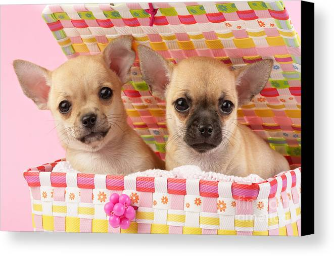 Puppy Canvas Print featuring the digital art Two Chihuahuas by Greg Cuddiford