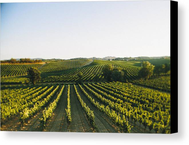 Fine Art Canvas Print featuring the photograph Vineyard Patchwork by Clint Brewer