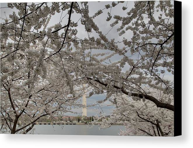 America Canvas Print featuring the photograph Washington Monument - Cherry Blossoms - Washington Dc - 011323 by DC Photographer