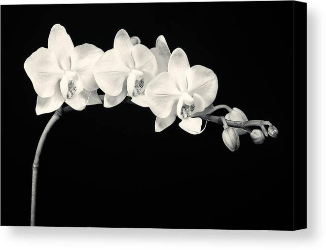 3scape Photos Canvas Print featuring the photograph White Orchids Monochrome by Adam Romanowicz