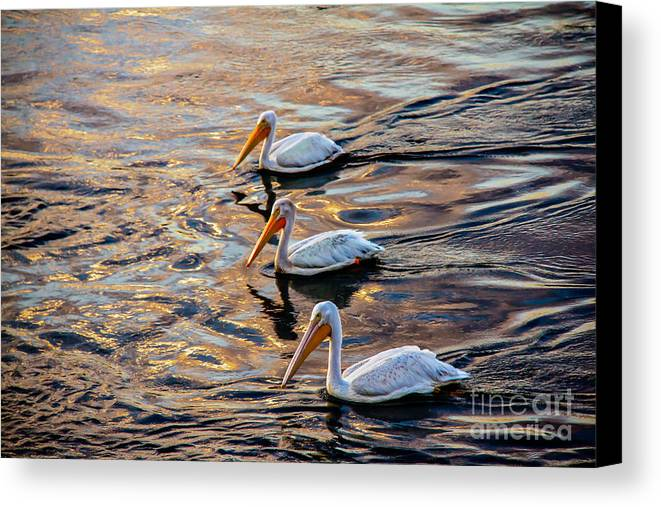 Birds Canvas Print featuring the photograph White Pelicans In Golden Water by Robert Bales